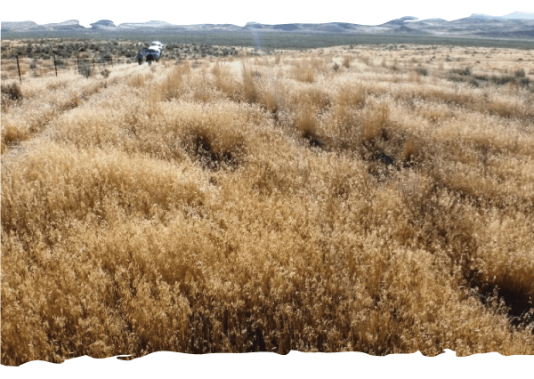 Wet Spring = More Cheatgrass
